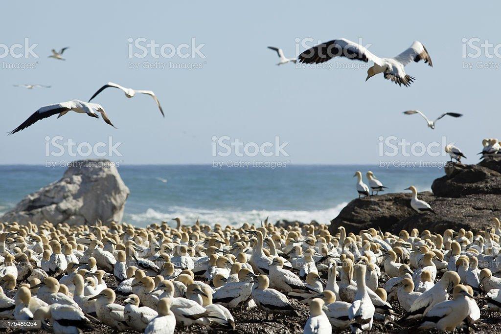 Gannet seabird colony stock photo