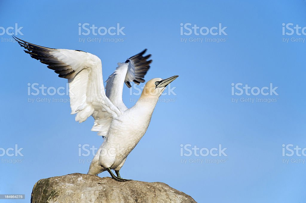 Gannet stretching his wings at a Colony royalty-free stock photo