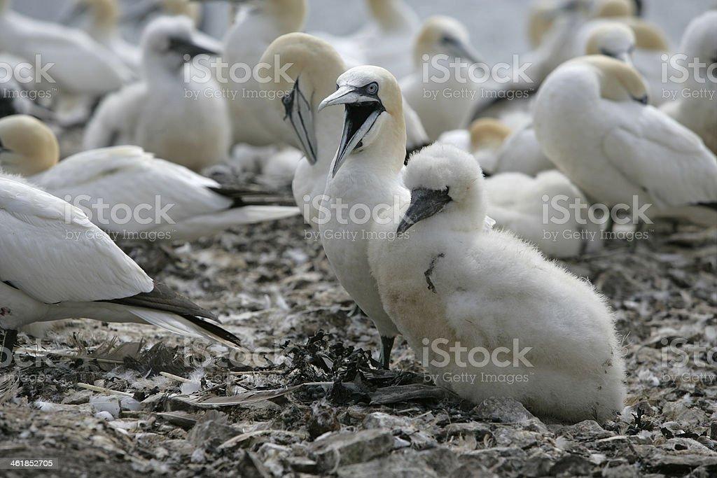 Gannet, Sula bassana stock photo