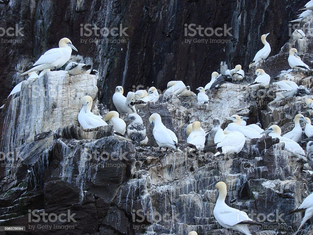 Gannets and their chicks on Bass Rock stock photo
