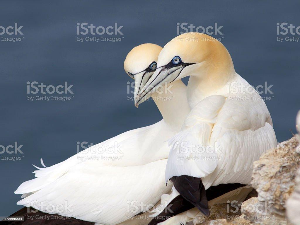 Gannets at Bempton Cliffs, England stock photo