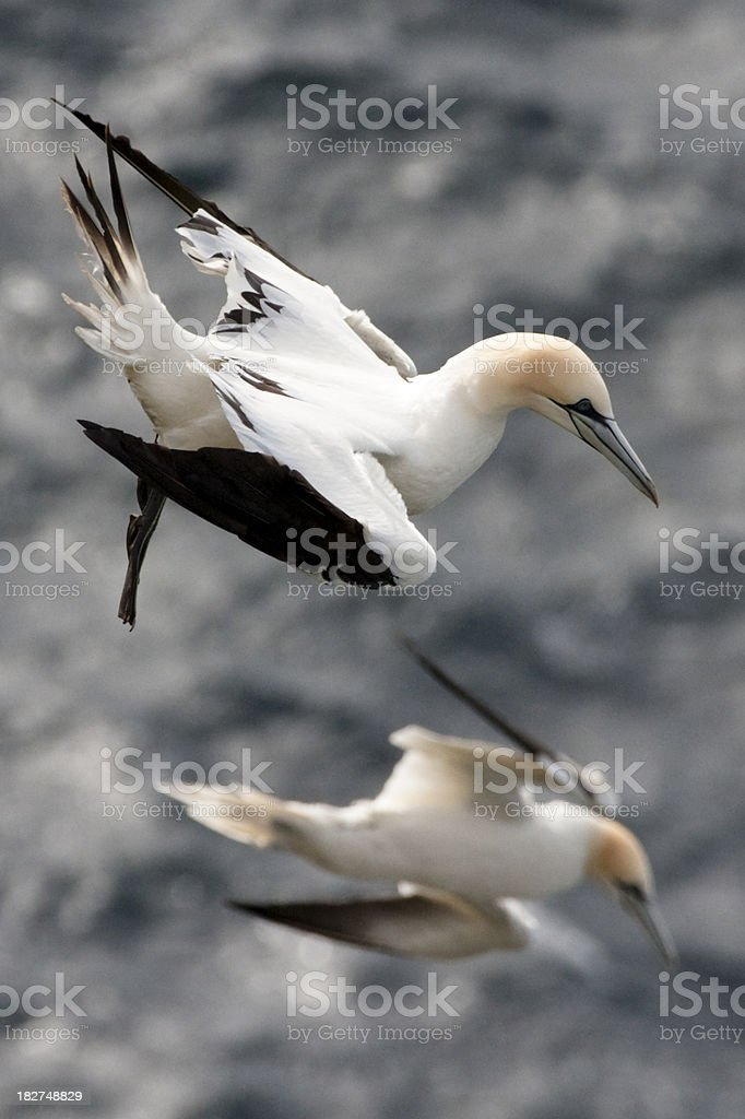 Gannets at Hermaness on Unst, Shetland stock photo