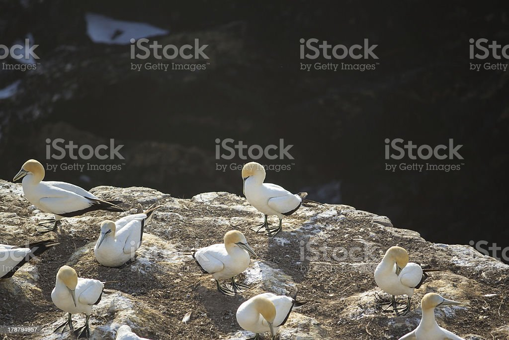 Gannets at the Muriwai Gannet Colony royalty-free stock photo