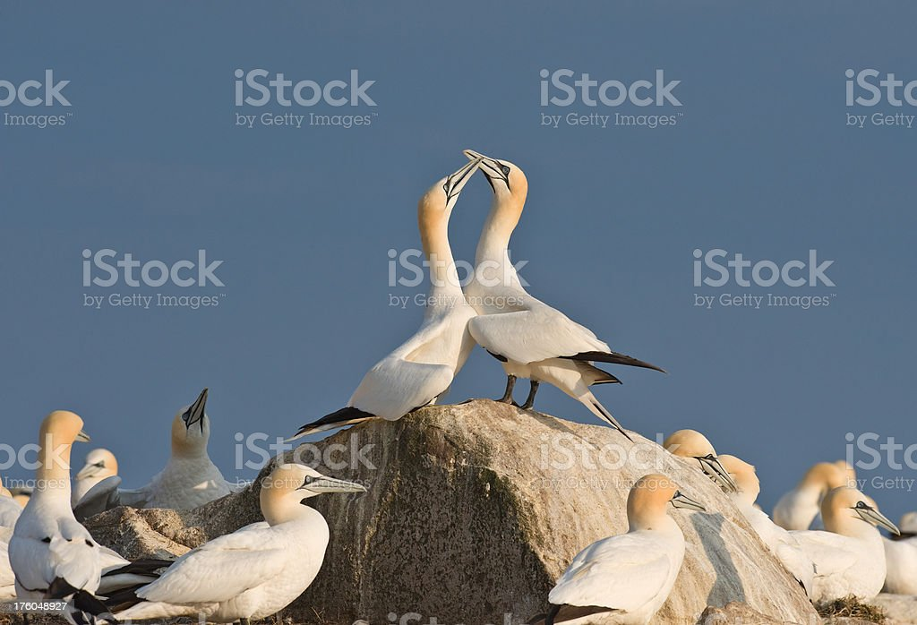 Gannets displaying at a Colony royalty-free stock photo