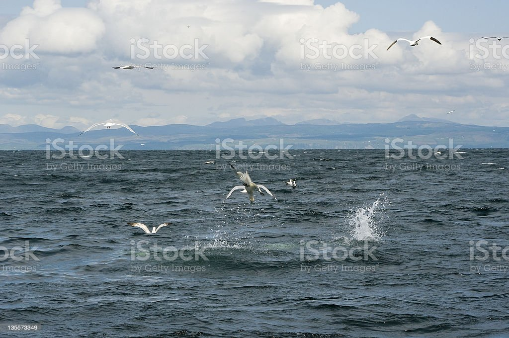 Gannets diving stock photo