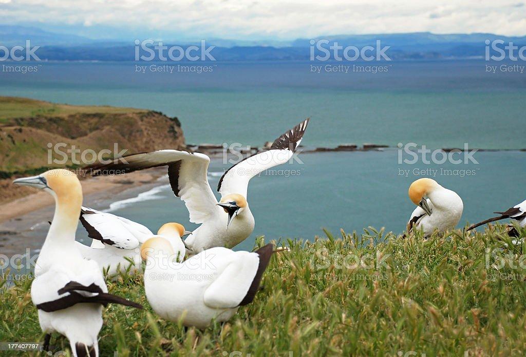 Gannets fighting stock photo