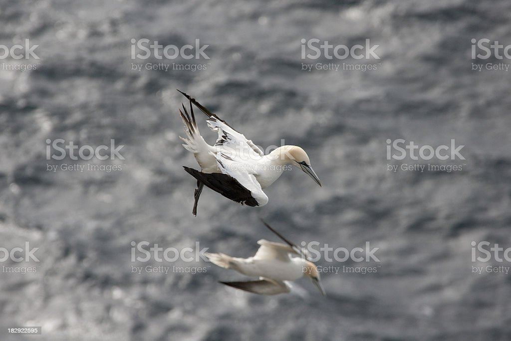 Gannets flying over the sea stock photo