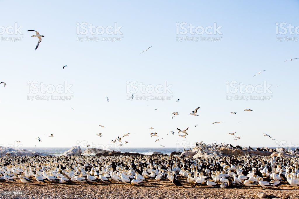 Gannets flying, roosting at Bird Island, Lambert's Bay, South Africa stock photo