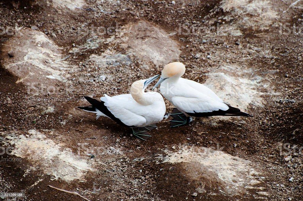 Gannets - Muriwai Coast - New Zealand stock photo
