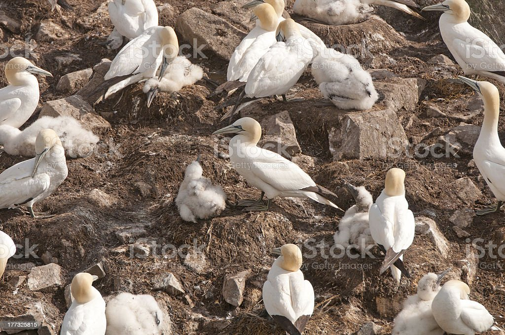 Gannets on a Nesting Island stock photo