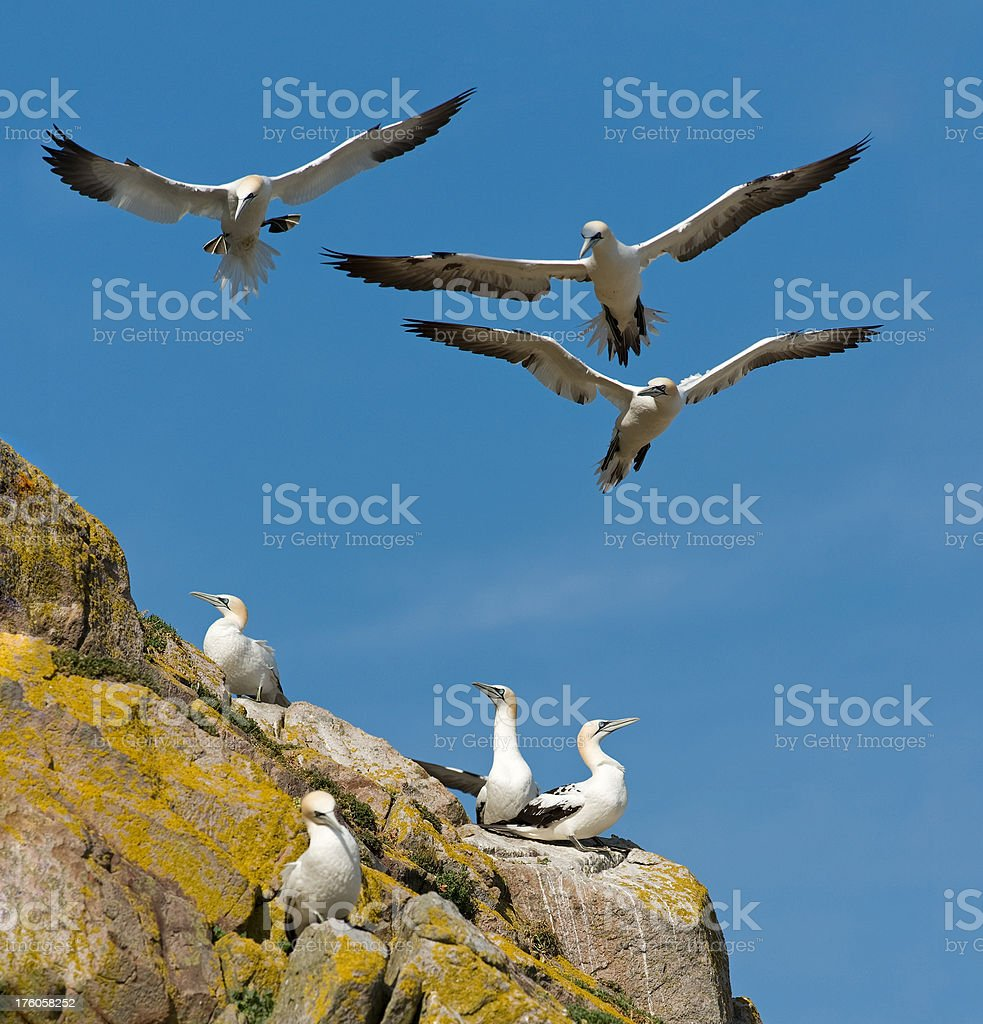 Gannets trying to land stock photo