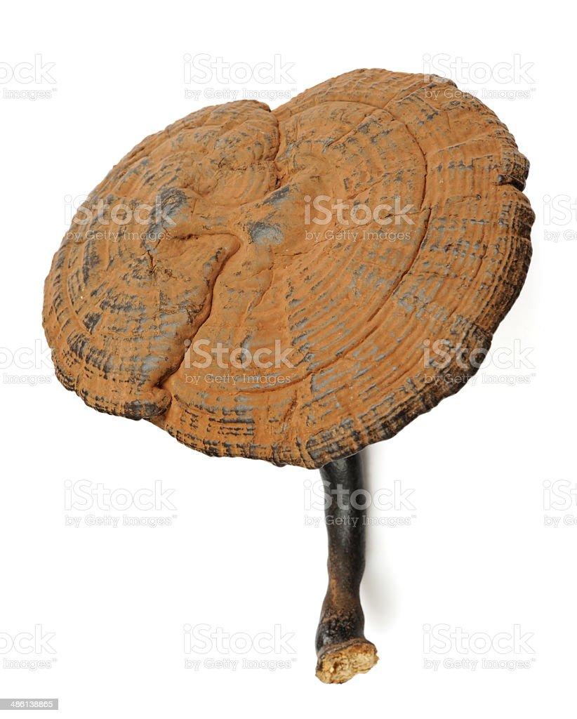 Ganoderma lucidum stock photo