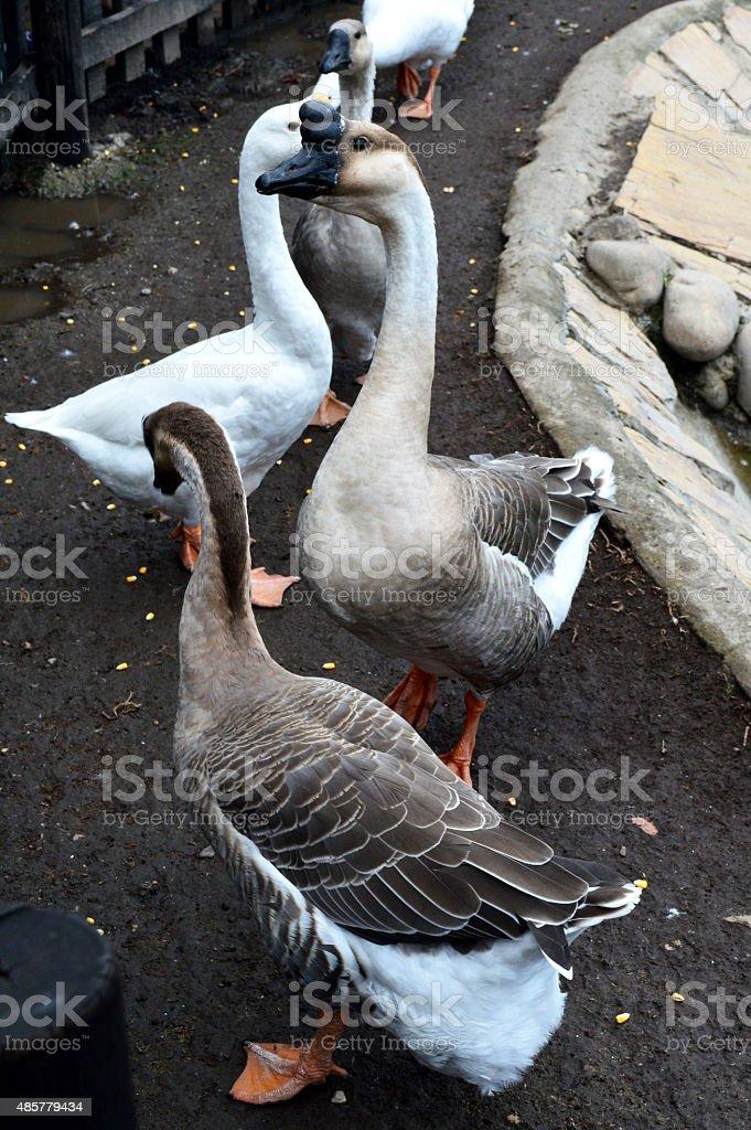 Gansos y patos silvestres stock photo
