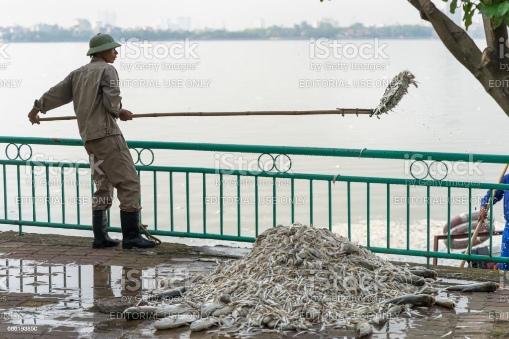 Hanoi, Vietnam - Oct 2, 2016: Garbage collector, environment workers take mass dead fishes out from West Lake stock photo