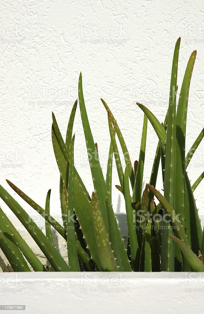Garden - Aloe Vera Cactus in white planter royalty-free stock photo