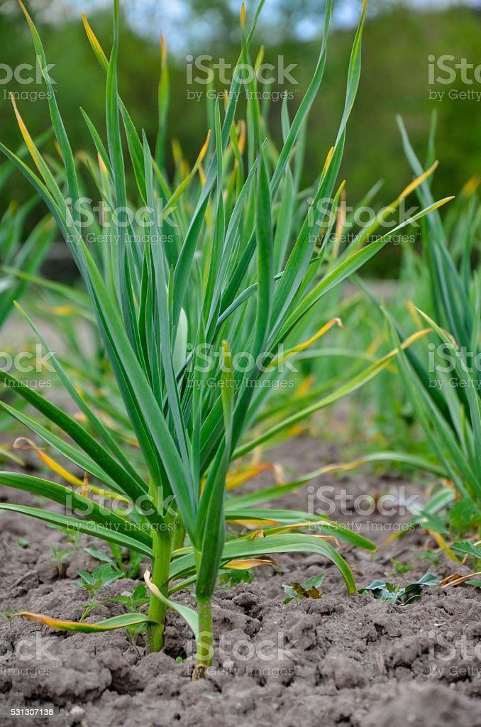 Garden bed of green garlic stock photo