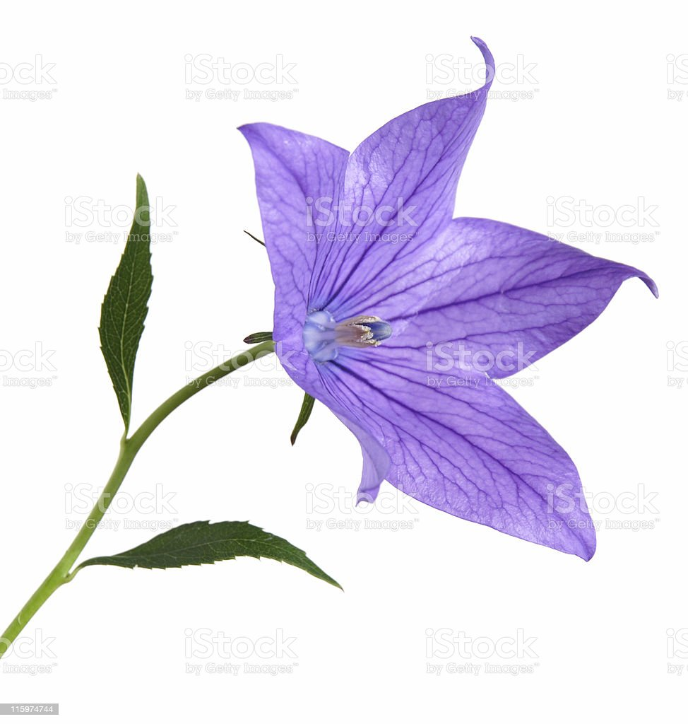garden bellflower, side view, isolated stock photo