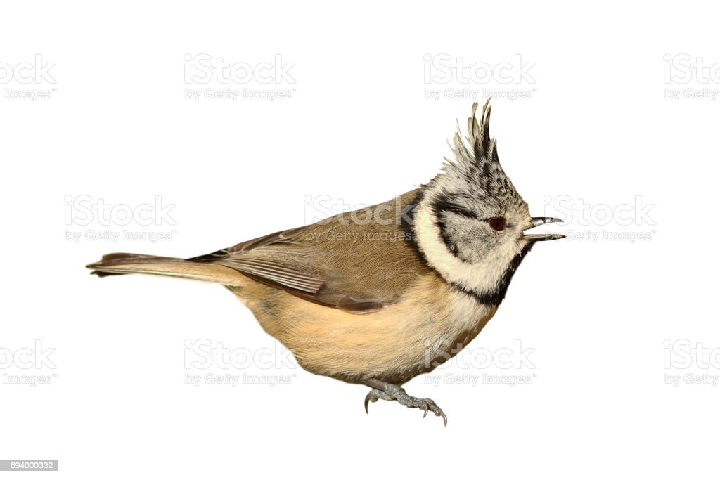 garden bird, the european crested tit stock photo
