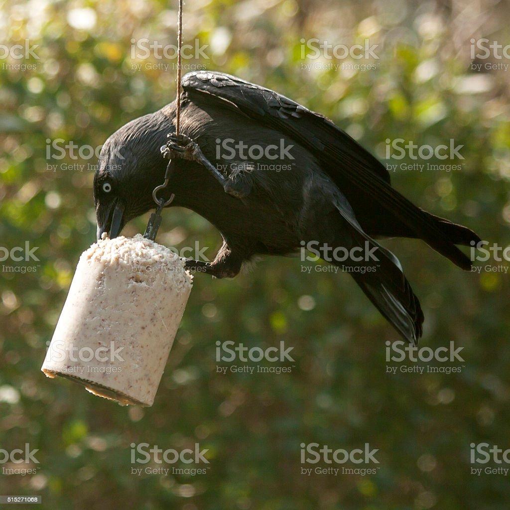 Garden birds in winter: western jackdaw stock photo
