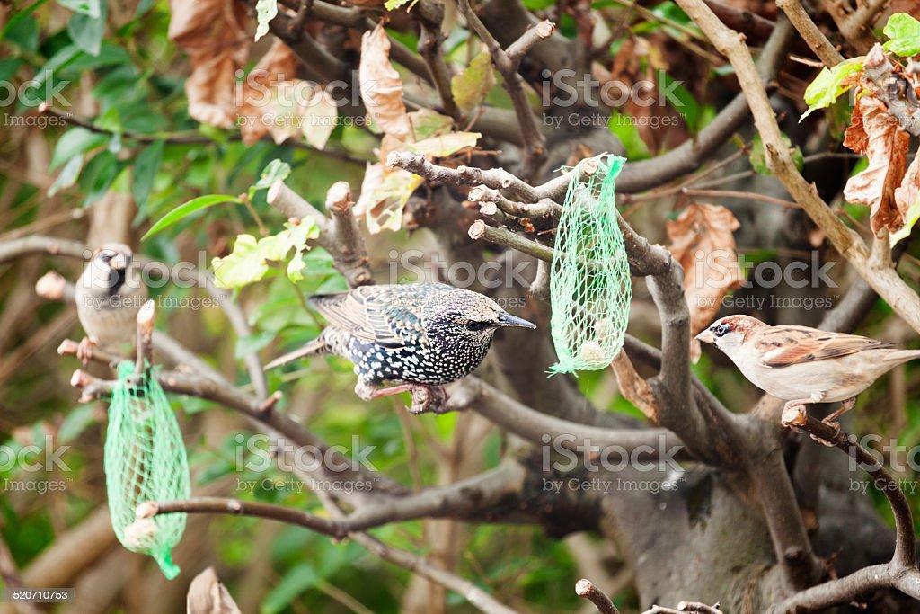 garden birds sharing the remains of a fat ball stock photo