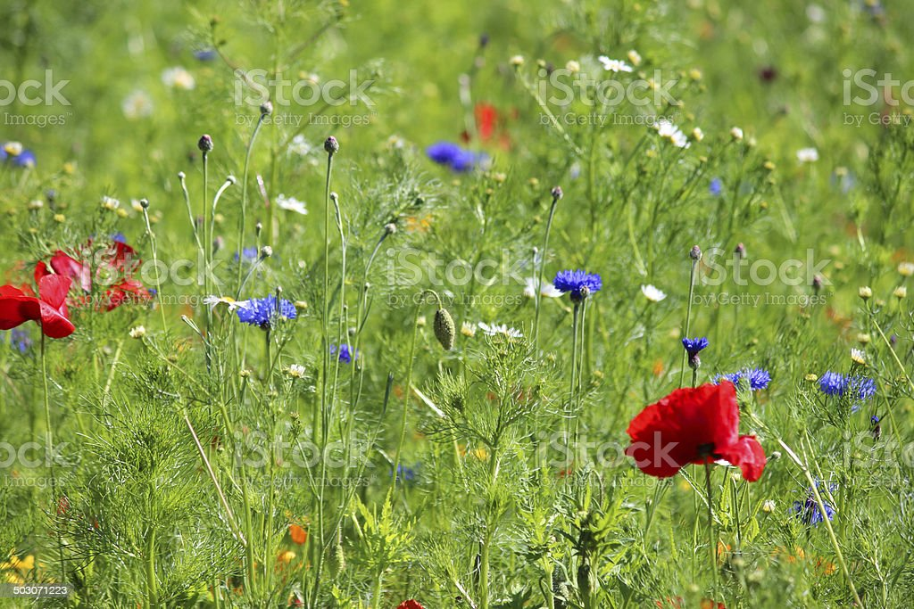 Garden border filled with annual wild flowers / red poppies, cornflowers royalty-free stock photo