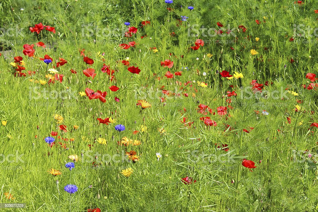 Garden border filled with annual wild flowers / red poppies, marigolds stock photo