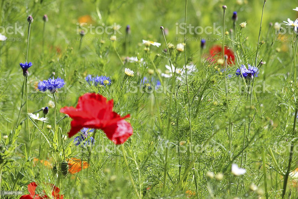 Garden border filled with annual wild flowers / wildflower meadow image royalty-free stock photo