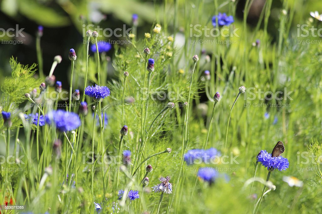 Garden border filled with colourful wild flowers / blue cornflower image royalty-free stock photo