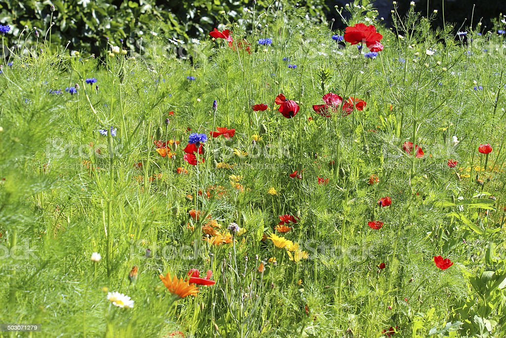 Garden border filled with colourful wild flowers / wildflower meadow image royalty-free stock photo