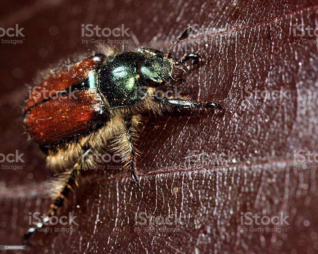 Garden chafer beetle (Phyllopertha horticola) stock photo