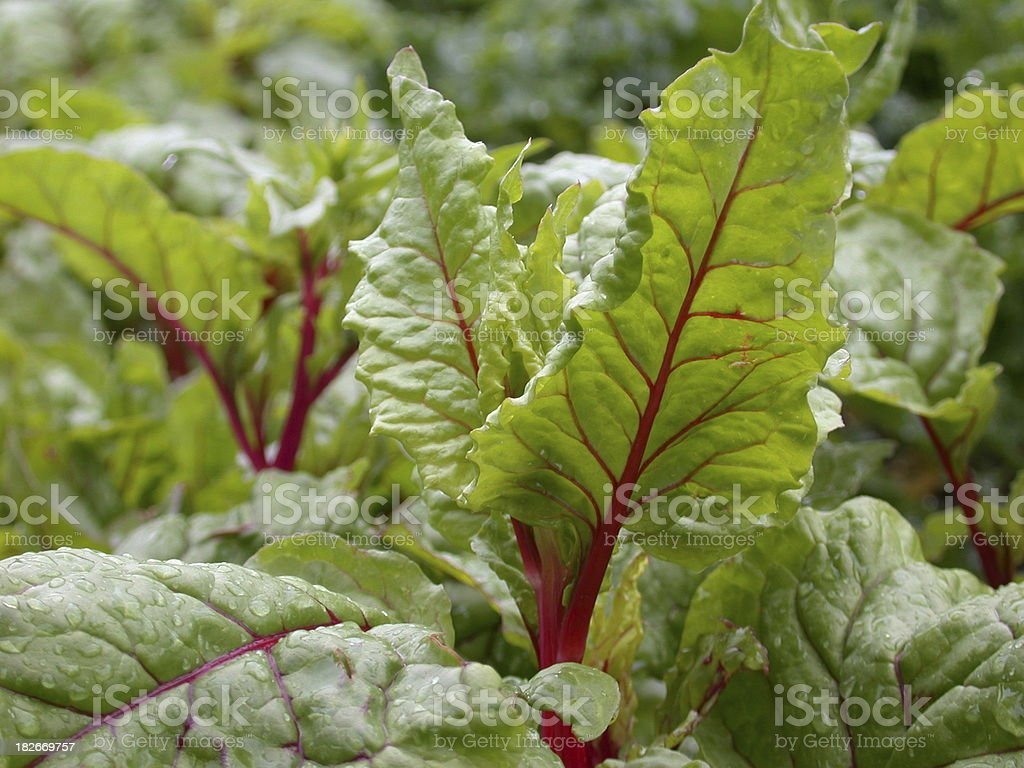 Garden Chard royalty-free stock photo