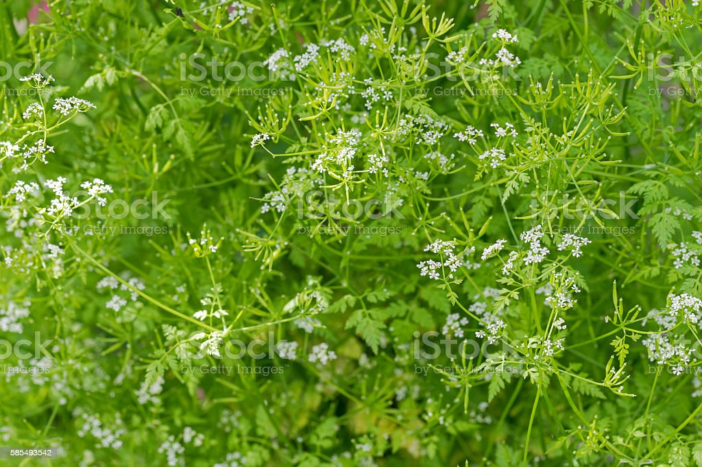 Garden Chervil blossoming white flowers during summer in Austria stock photo