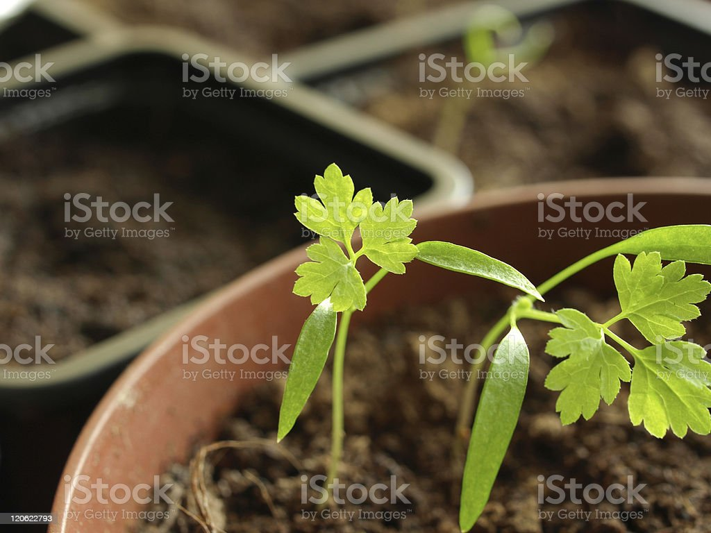 garden chervil royalty-free stock photo