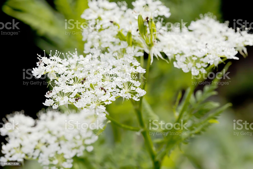 Garden Chervil (Anthriscus cerefolium) royalty-free stock photo