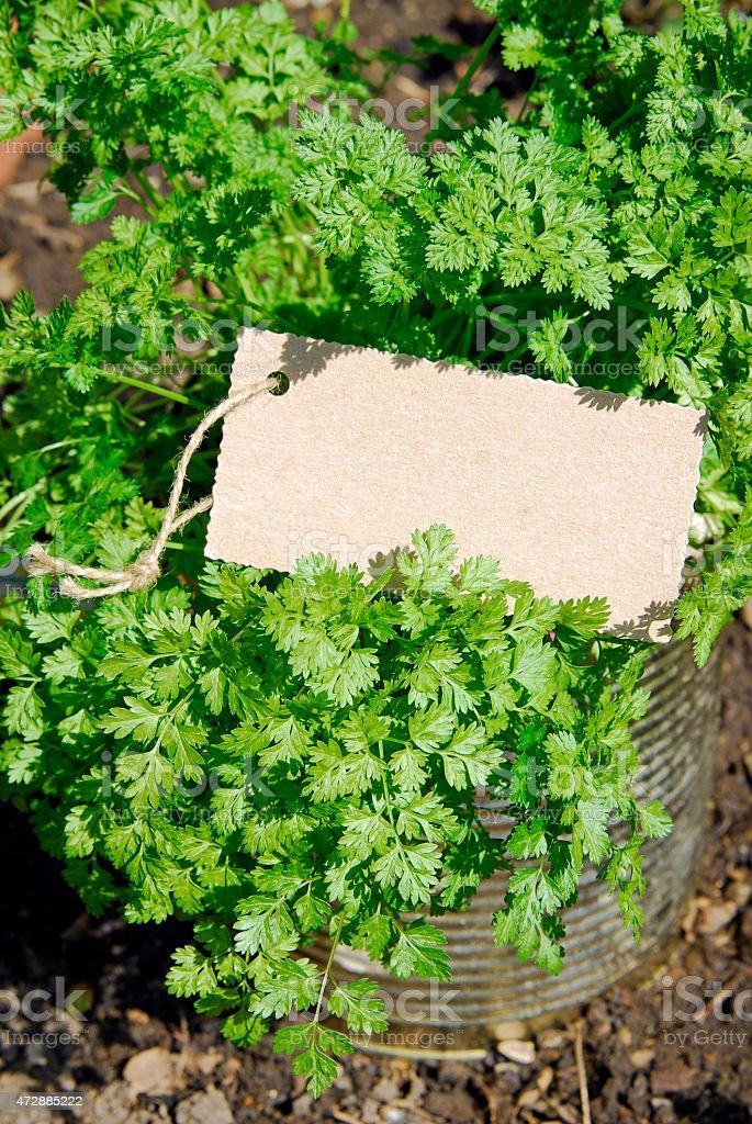 garden chervil stock photo