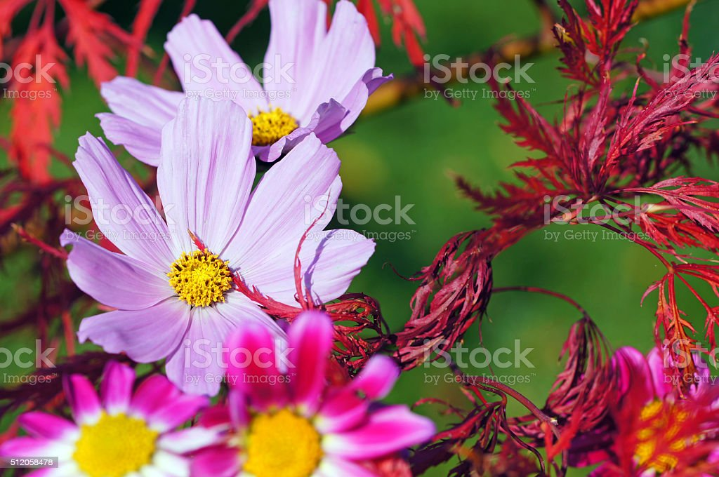 Garden cosmos, acer and mini dahlias stock photo