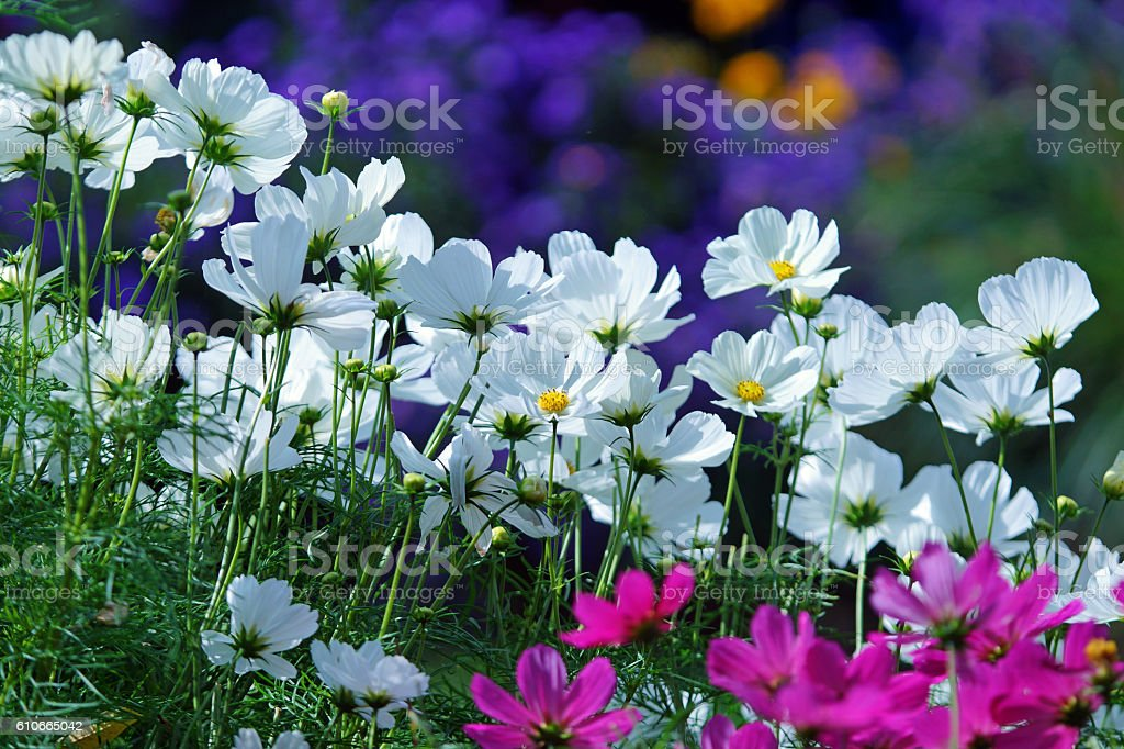 Garden cosmos and asters stock photo