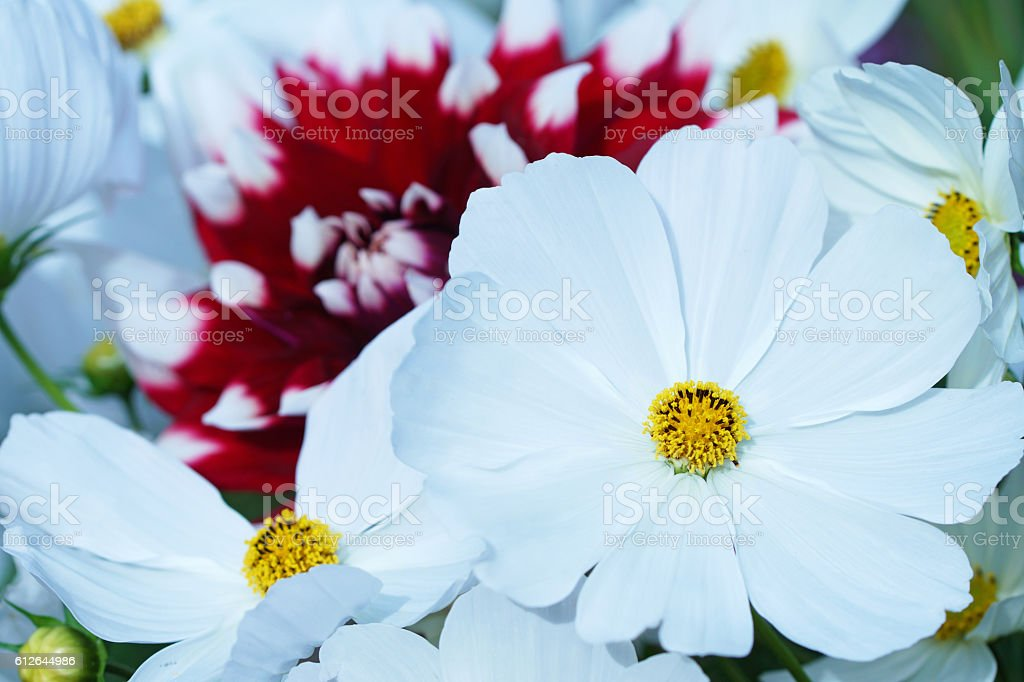 Garden cosmos and dahlia stock photo