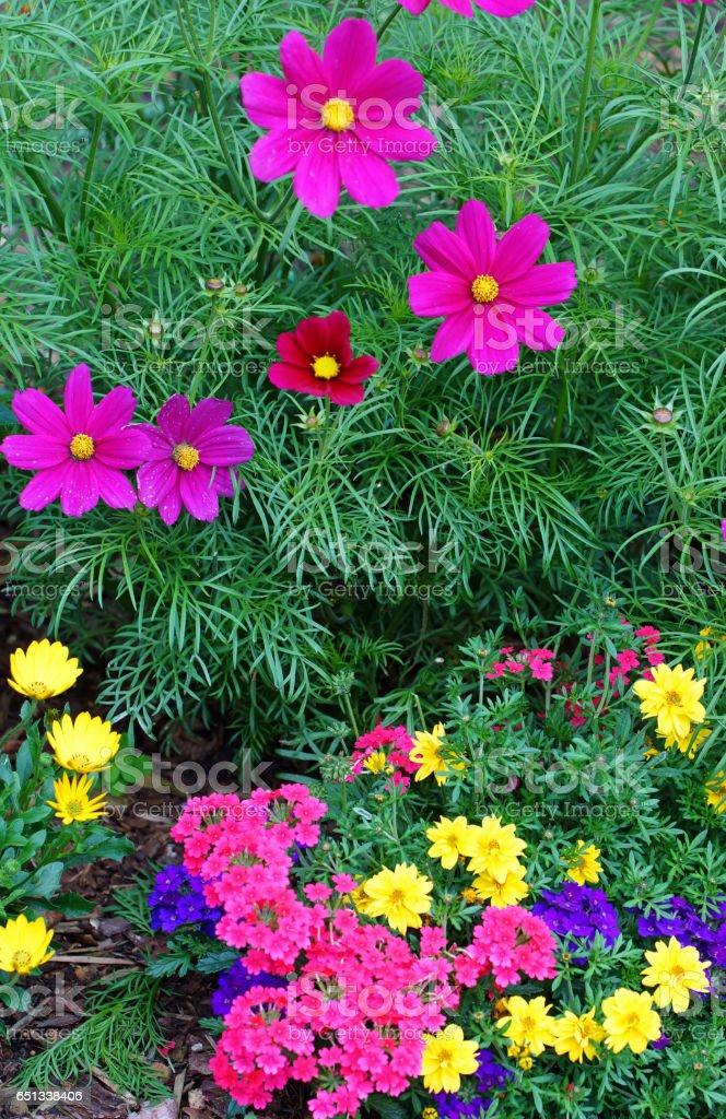 Garden cosmos, cape daisies and verbena stock photo