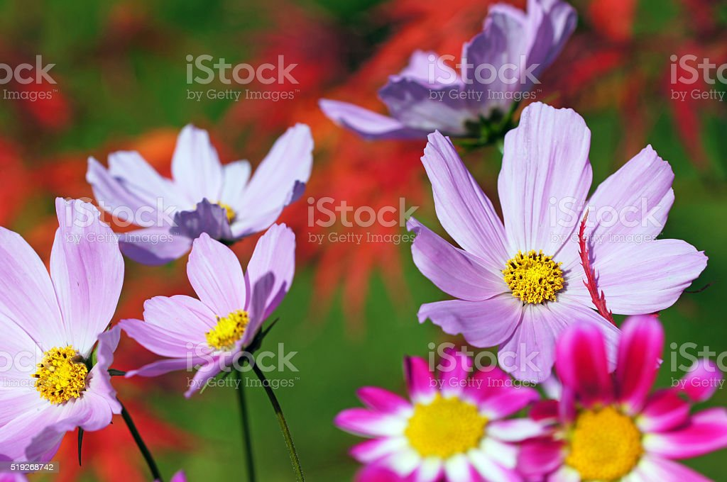 Garden cosmos, mini dahlias and acer stock photo