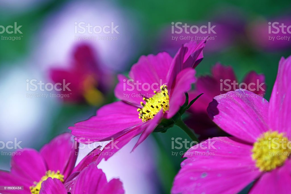 Garden cosmos stock photo