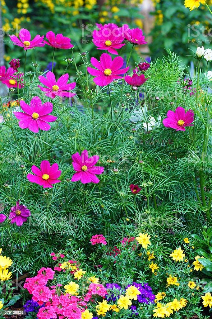 Garden cosmos, verbena and dotted loosestrife stock photo