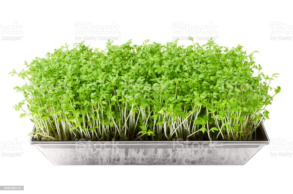 Garden cress in seed sprouter isolated over white stock photo