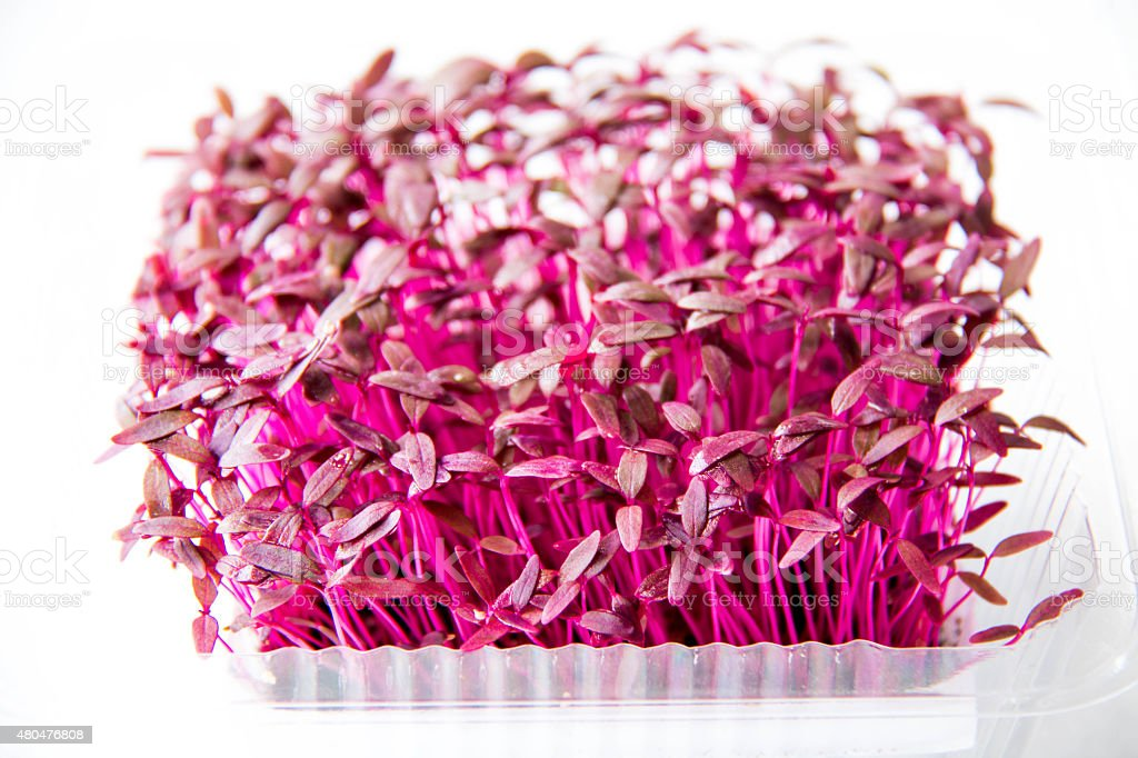 Garden cress organic sprouting seedlings, fresh and healthy. stock photo