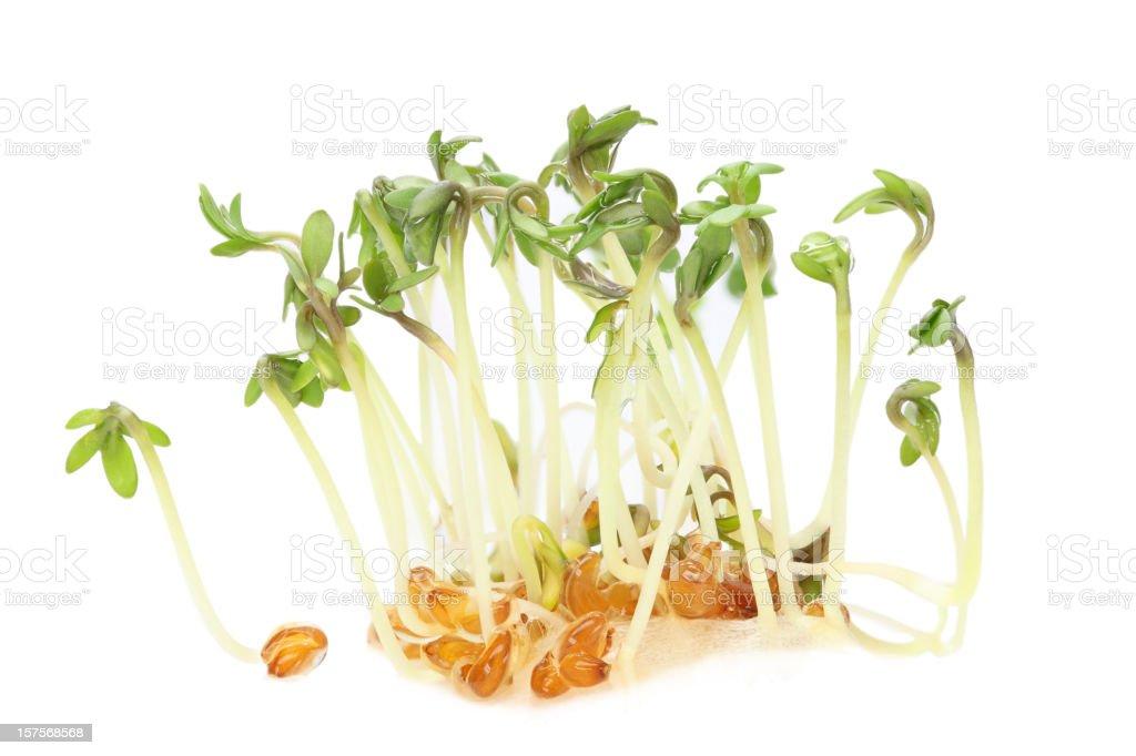 garden cress (lepidium sativum) sprouts isolated on white stock photo