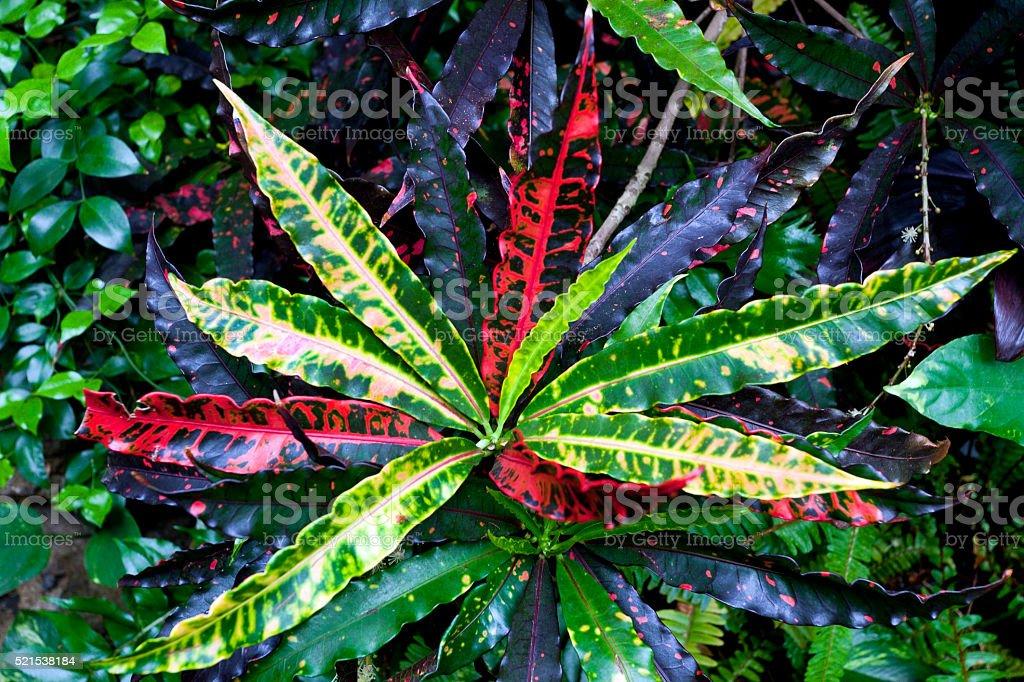 Garden Croton stock photo