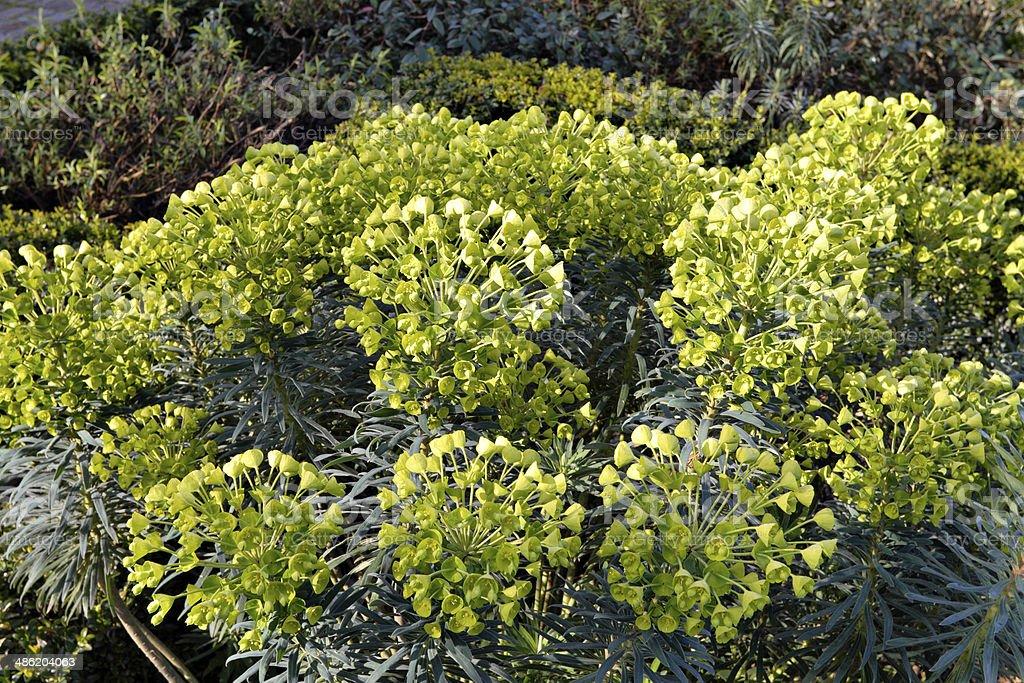 Garden Euphorbia characias stock photo