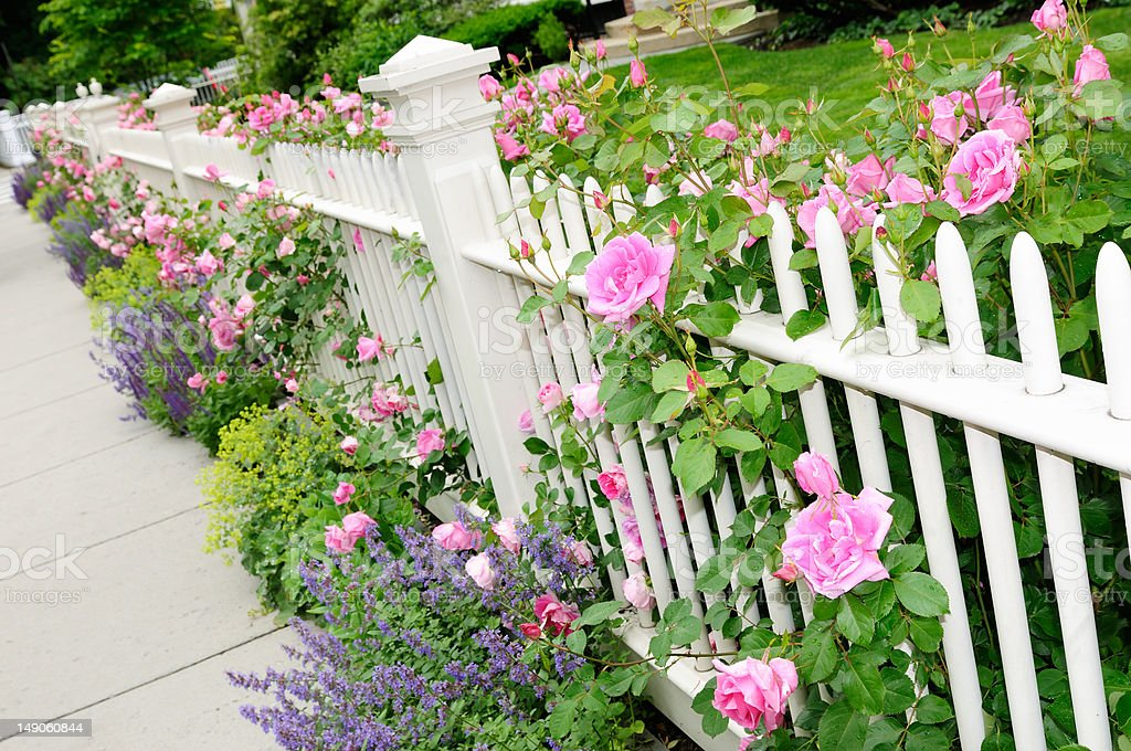 Garden Fence with Pink Roses royalty-free stock photo