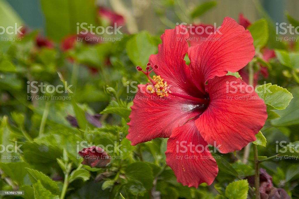 A garden filled with red hibiscus flowers stock photo