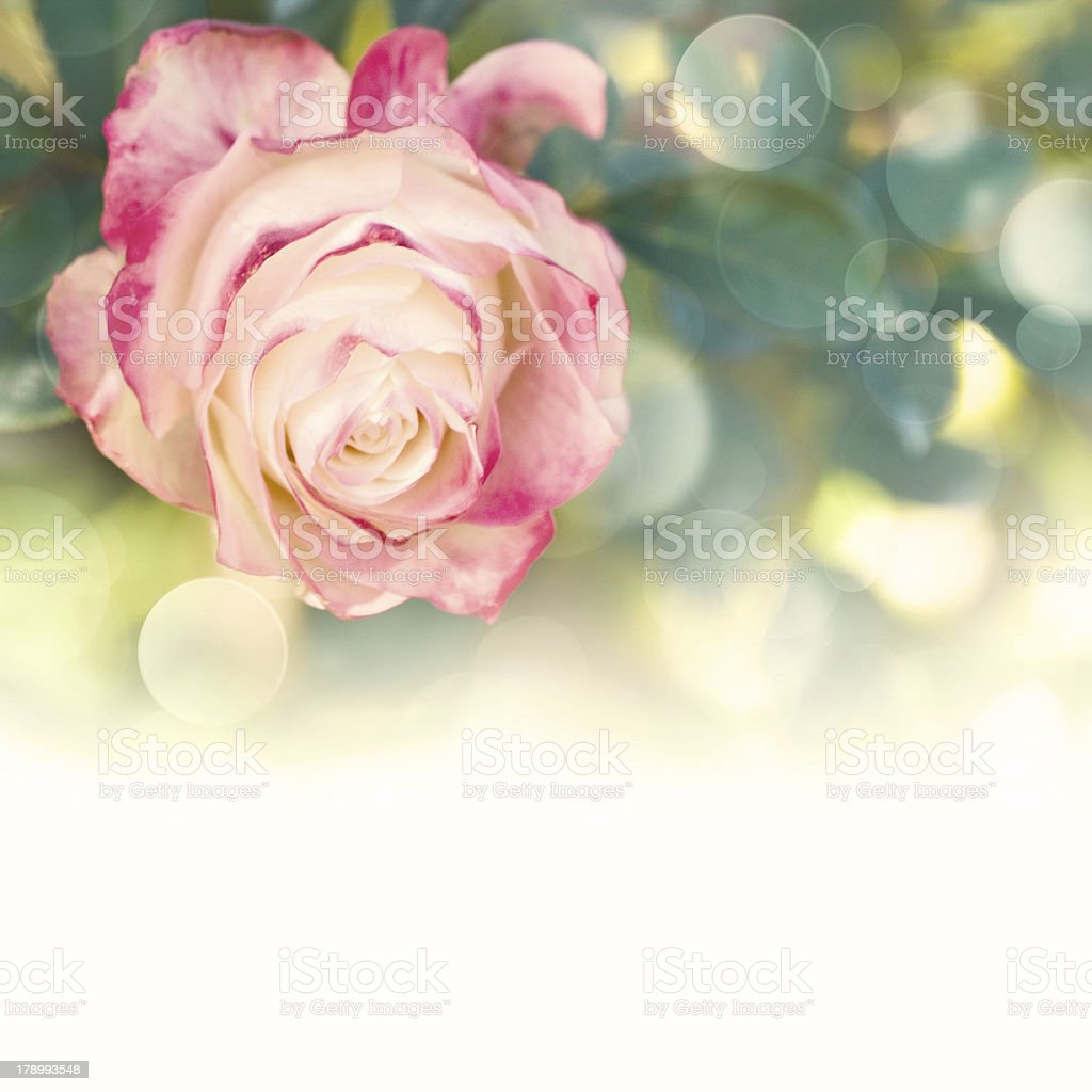 Garden flower. Rose stock photo
